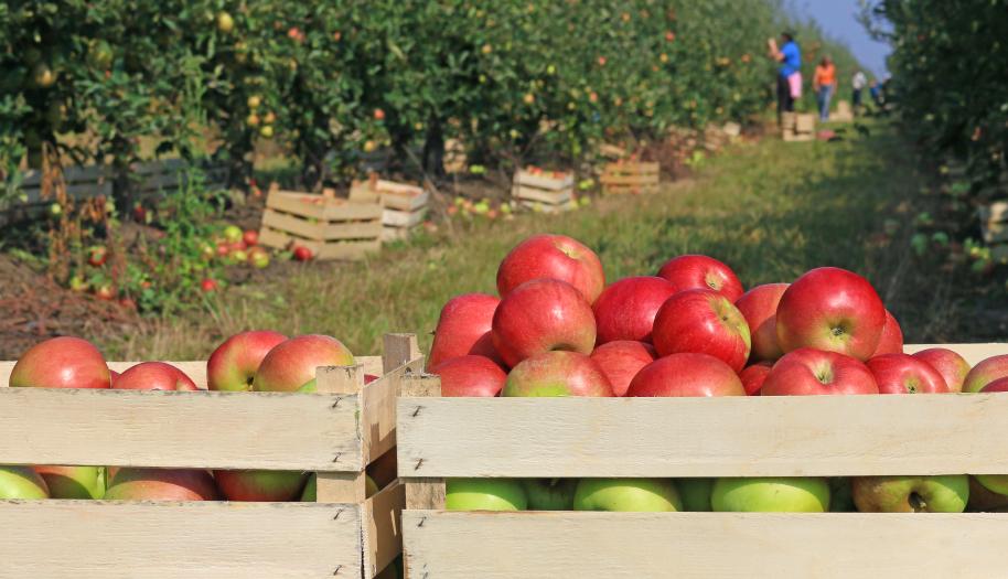 cueillette-pommes-49-vergers-particuliers-mane