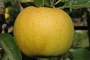 pommes-belchard
