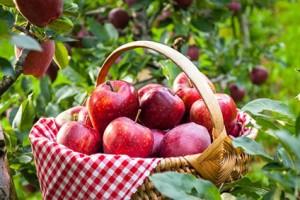 pommes-gala