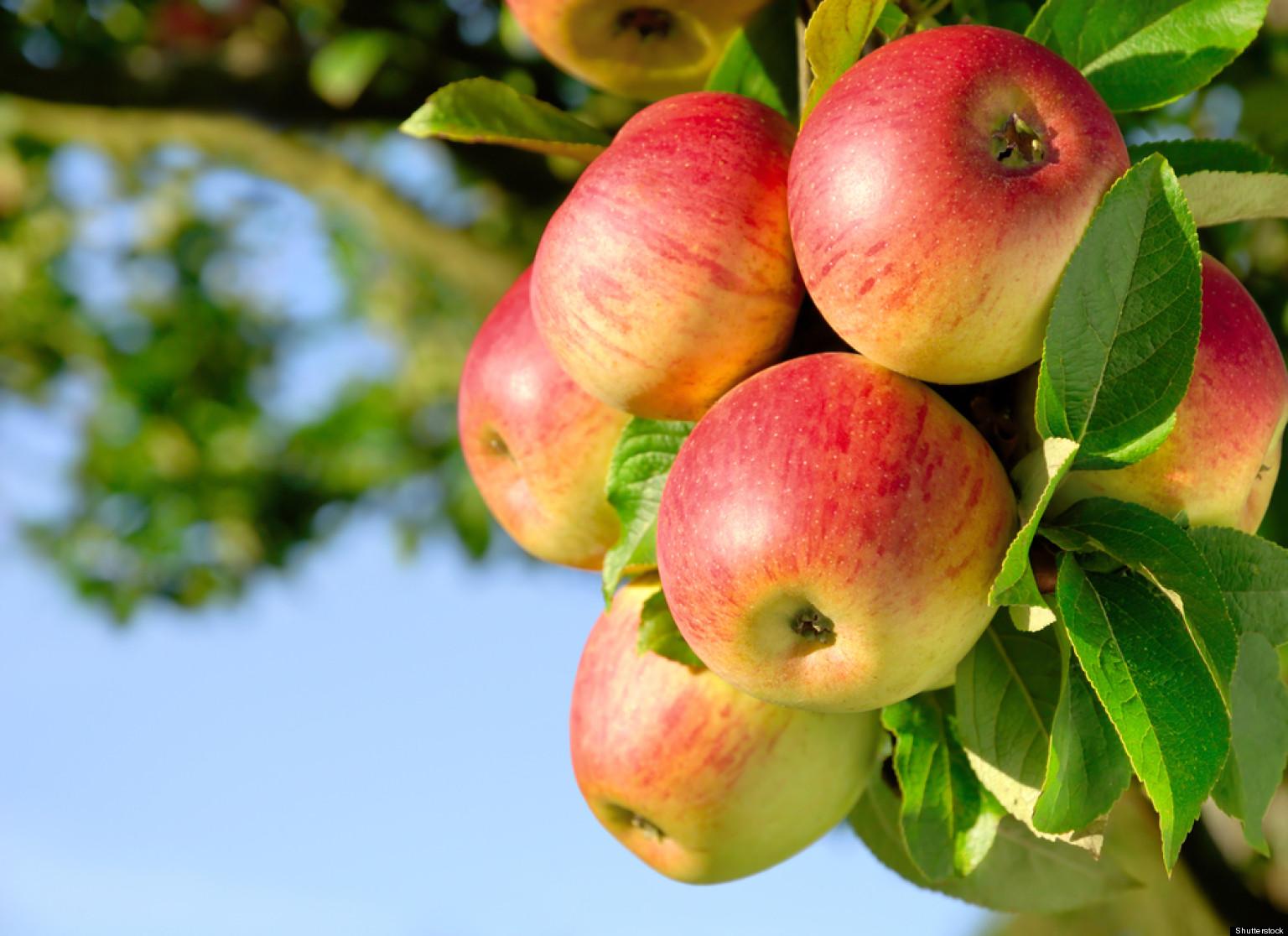 pommes-vergers-mane-49-pivert