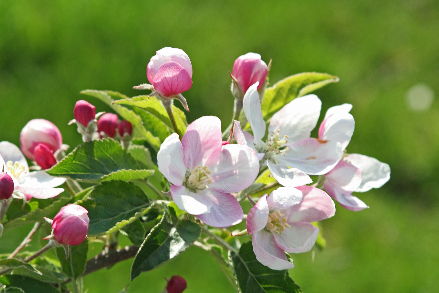 pommiers-vergers-mané-fleurs